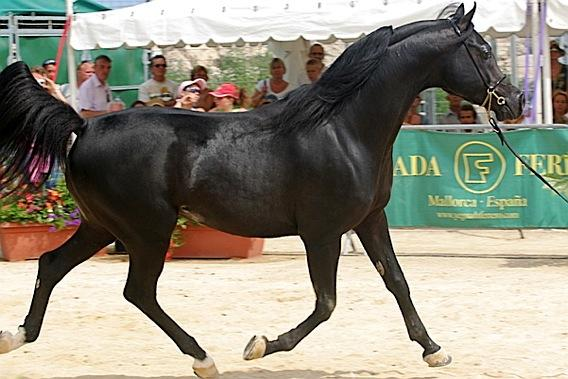 Image: cheval-arabe-lg.jpg