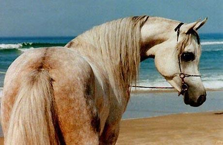 Image: sublime-pur-sang-arabe.jpg